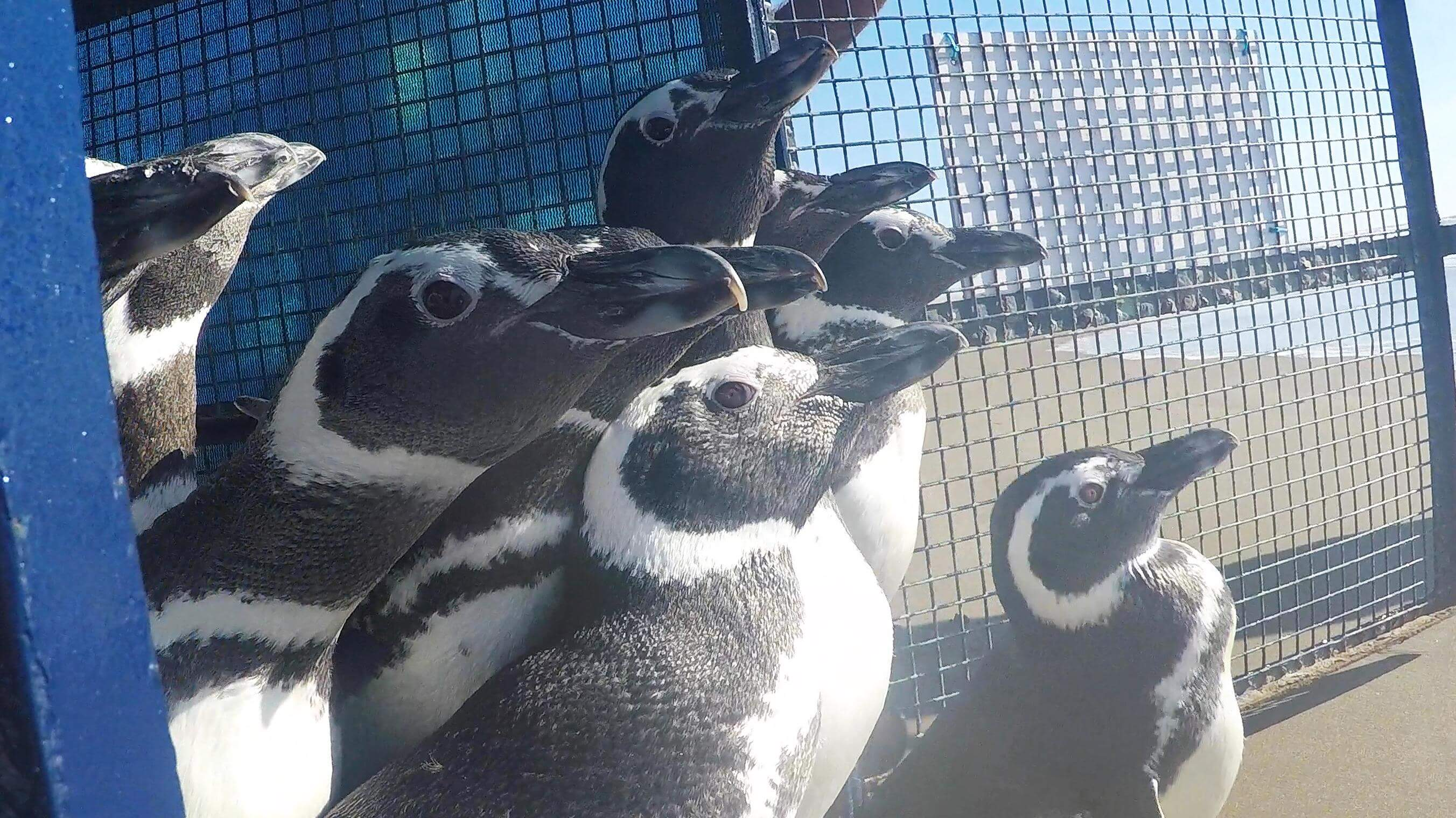 After being rehabilitated, ten penguins returned to the sea. (Photo: Mundo Marino Foundation).