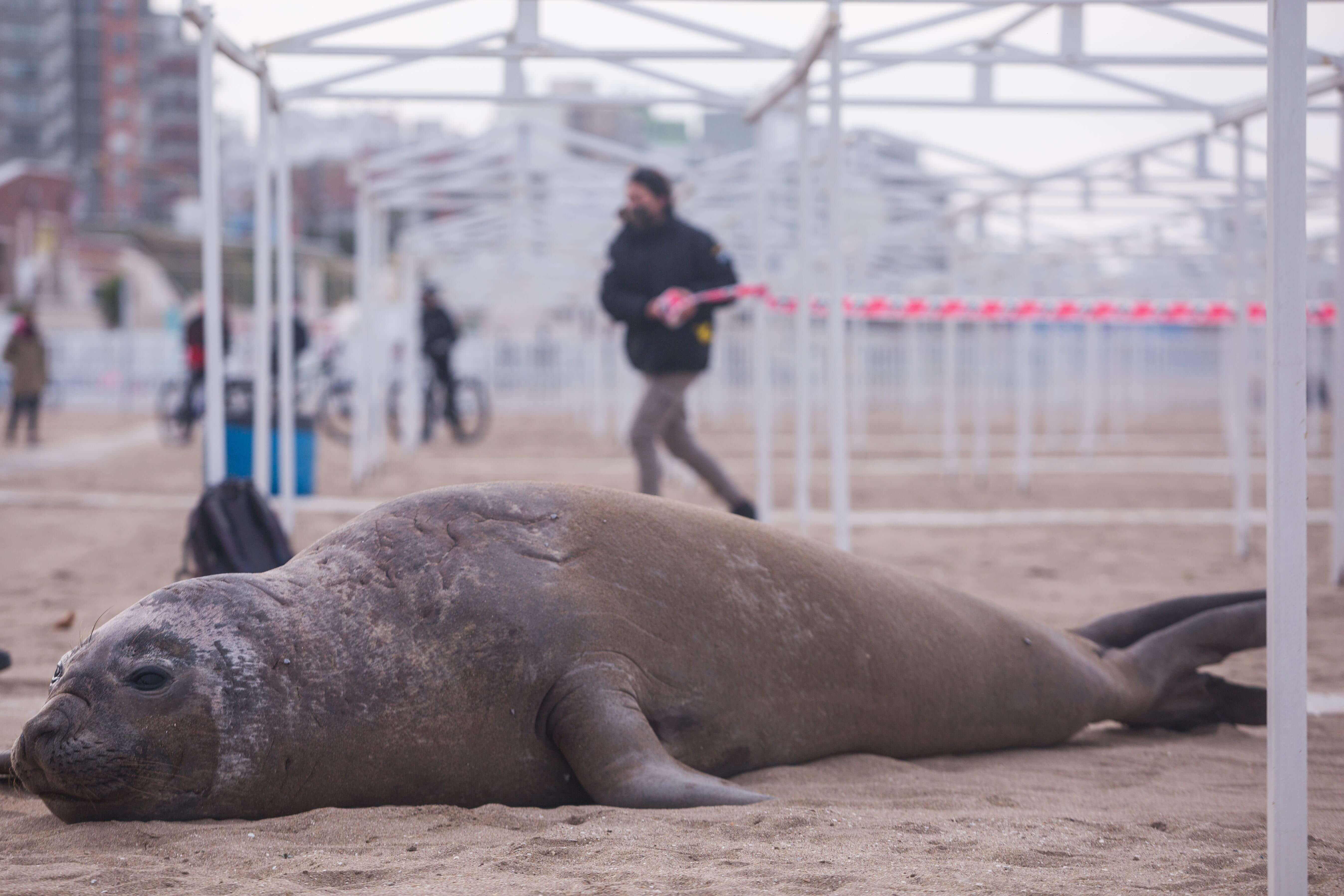 The elephant seal that was stranded on the balenario weighs about 1,000 kilos. (Photo: Télam).